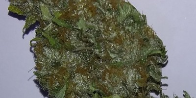Afghani Hash Plant