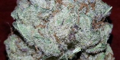 Exotic Purple Kush