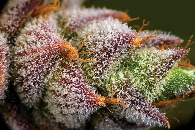 Mimosa strain allbud