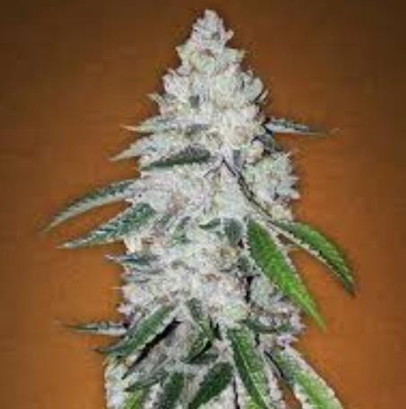 West Coast Og Marijuana Strain Reviews Allbud